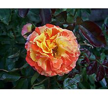 The rose Oranges and Lemons Photographic Print