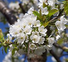 White profusion .. spring flowers by LoneAngel