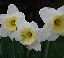 Daffodil Sisters by Tammy F