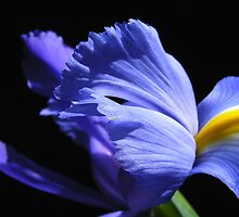 Rhapsody in Blue by Floralynne