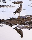 Lesser Yellowlegs [Tringa flavipes] by Yukondick