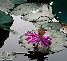 From The Lotus Pond by sochic