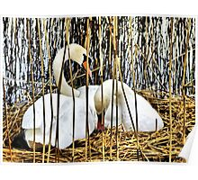 Swans Nesting HDR Poster