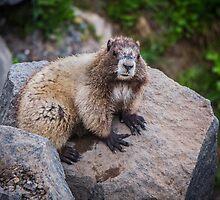 Marmot at Mount Rainier's Myrtle Falls by Nicole Petegorsky