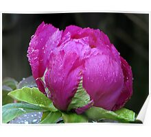 Perfectly Pink Peony Poster