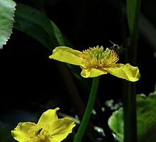 Marsh Marigold & Fly by Sharon Perrett
