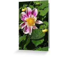 Pink Dahlia Close-up Greeting Card