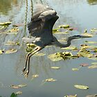 GREAT BLUE HERON 2 by Howard & Rebecca Taylor