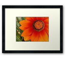 Blazing Orange Gazinia Framed Print