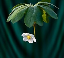 Mayapple by Kirk Allemand