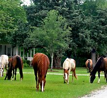 Plantation Horses by photosan