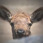 elk calf peek-a-boo by Kevin Williams