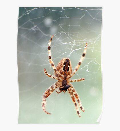 Garden spider eating prey Poster