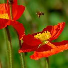 Poppies and a Bee by Jim Felder