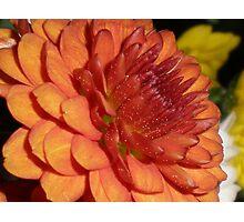 Russet Chrysanthemum Photographic Print