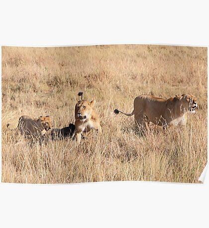 Lions Guarding a Kill, Maasai Mara, Kenya  Poster