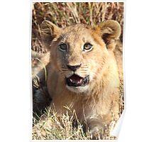 Lion Cub Resting, Maasai Mara, Kenya Poster