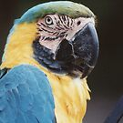 Blue Macaw by Edward Denyer