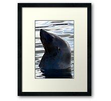 Australian Fur Seal 4 Framed Print