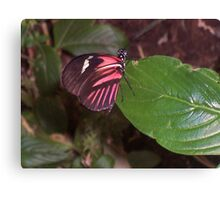Perching Red Admiral Canvas Print