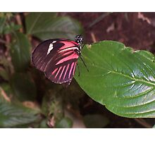 Perching Red Admiral Photographic Print