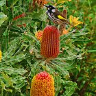 Honey Eater. by Bette Devine