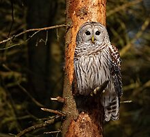 Barred Owl On Pine by Owl-Images