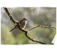 Red-browed Finch visiting the Aviary. Poster