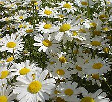 field of flowers, tasmania by Maike