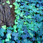 Ivy by Zack Nichols