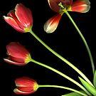 Pot O' Tulips by Scanart