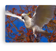 Cocky and colour... Canvas Print