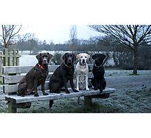 4 labradors Photographic Print