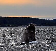 Southern Right Whale 11 by Vanessa Reid