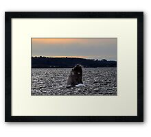 Southern Right Whale 11 Framed Print