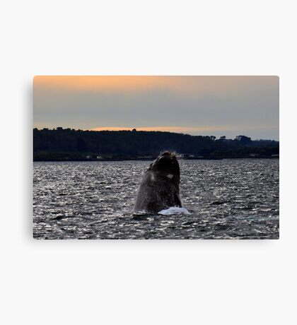 Southern Right Whale 11 Canvas Print