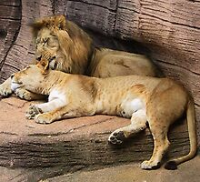 The Lions by Michele Caporaso
