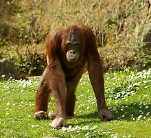 Miss Orangutan 2008 by Justin020