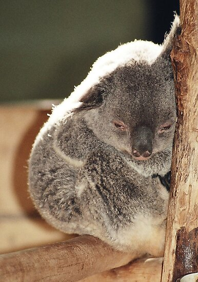 the baby Koala by julie08