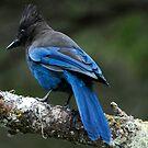 Steller's Jay, British Columbia's Bird by David Friederich