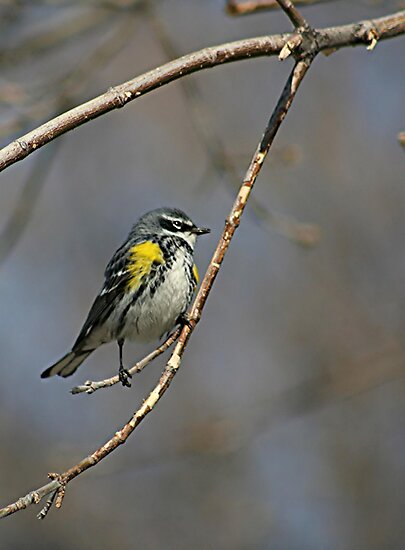 Yellow-rumped Warbler 2 by Stephen Thomas