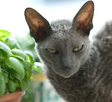 His Name is Uggy, and He's a Cornish Rex by David Friederich