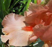 Pretty  Peach Iris.. by Rita  H. Ireland