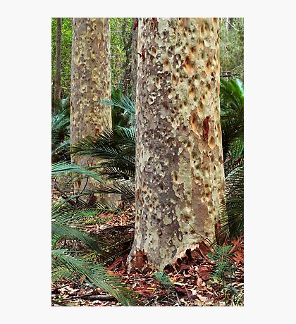 Spotted Gum - Mimosa Rocks National Park Photographic Print