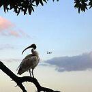 australian white ibis by carol brandt