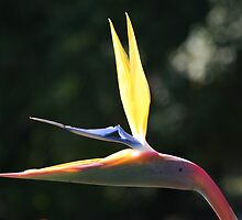 Bird Of Paradise by Kylie  Metz