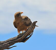 Yellow Billed Kite - Looking at Heaven by LivingWild