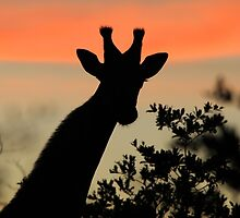 Giraffe Sunset - African Wildlife - Majestic Peace by LivingWild
