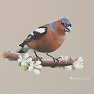 Chaffinch and pear blossom. by Brian Towers