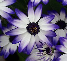 Beautiful Bicolour Blooms by DNVR